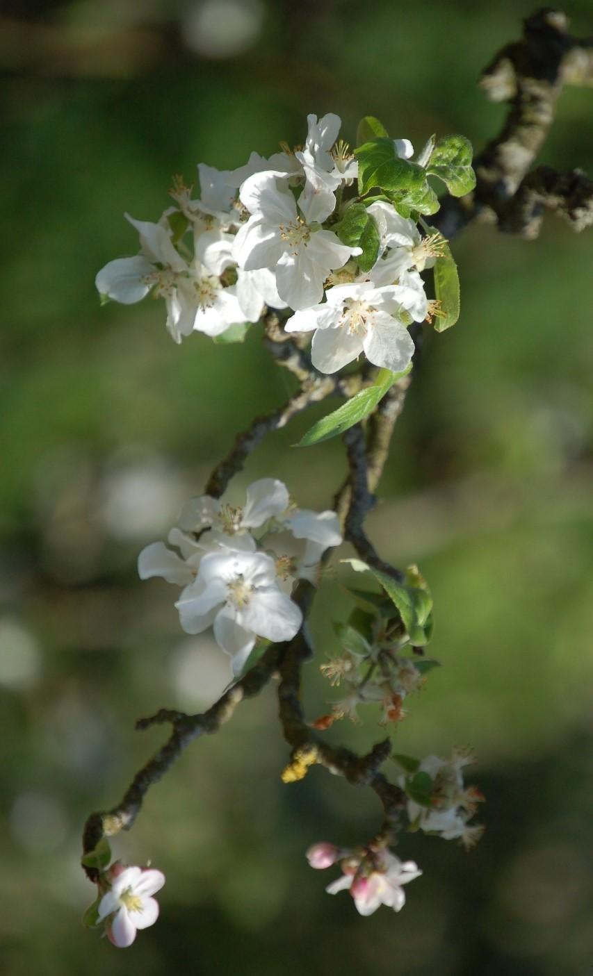Fleurs-pommiers2